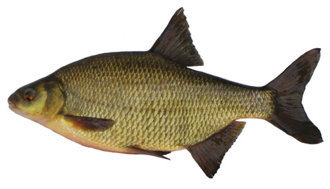Photo: Roach x bream hybrid