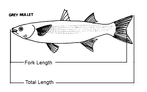 Fork Length - Total Length